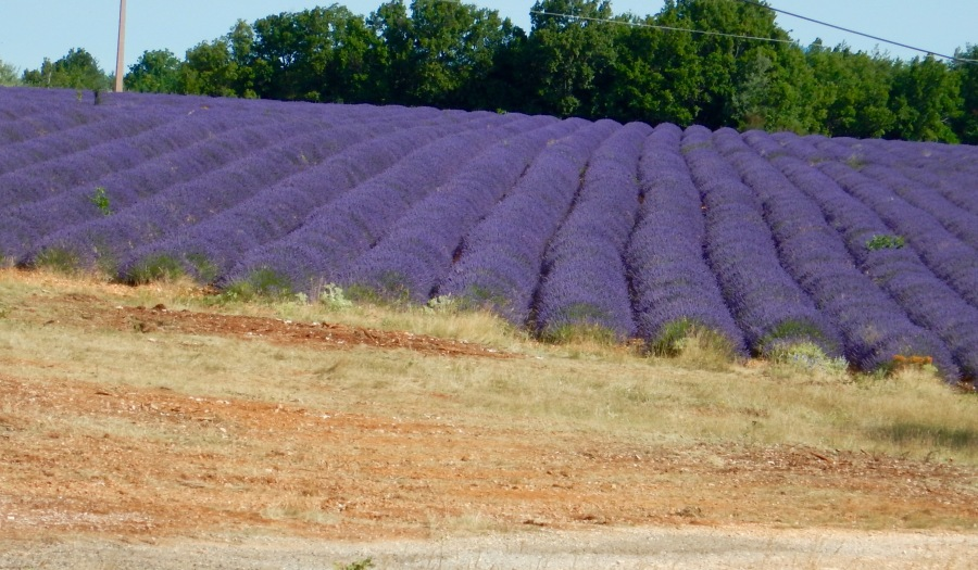 perfect rows of purple