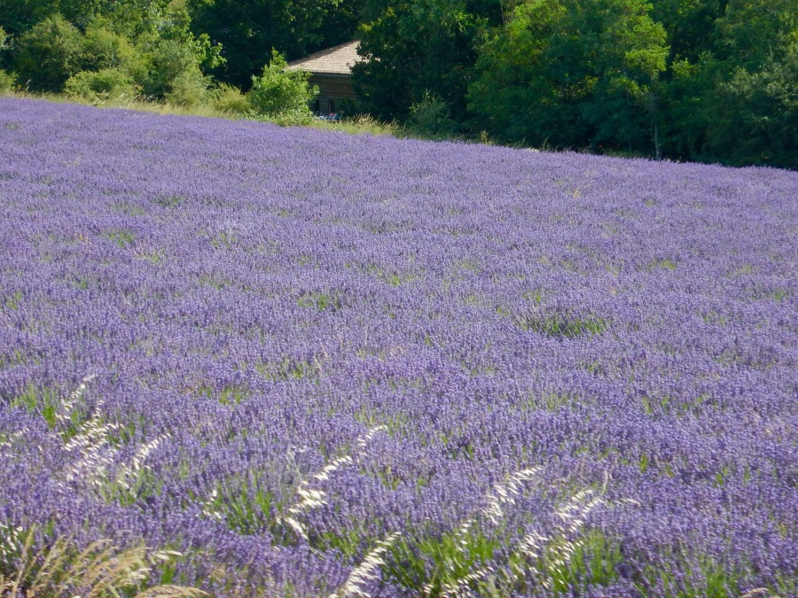 lavender overload about to happen!