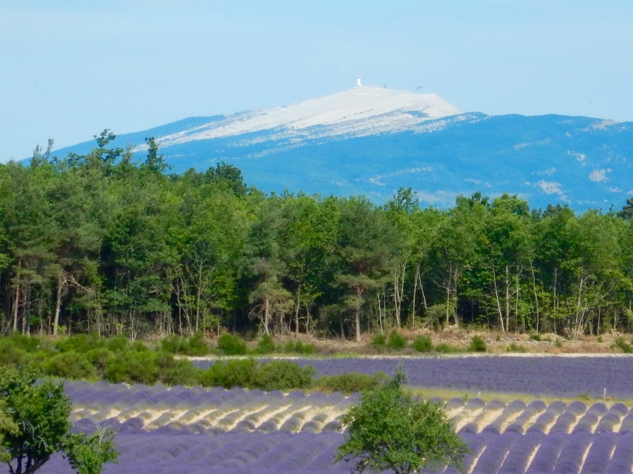 Mt. Ventoux and fields of purple