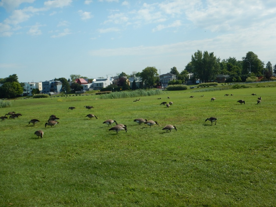 Canadian Geese along the waterway
