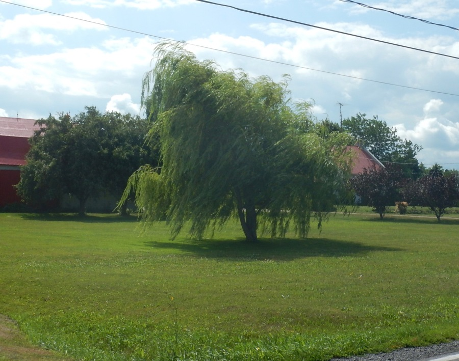I hope you can see the willow tree blowing in the wind