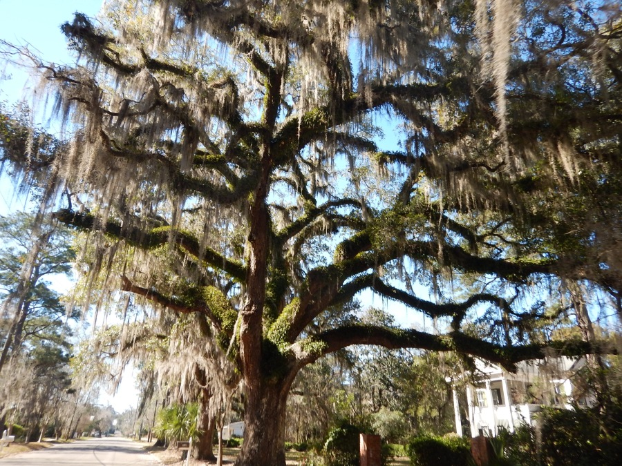 Live Oaks in rural Tallahassee.