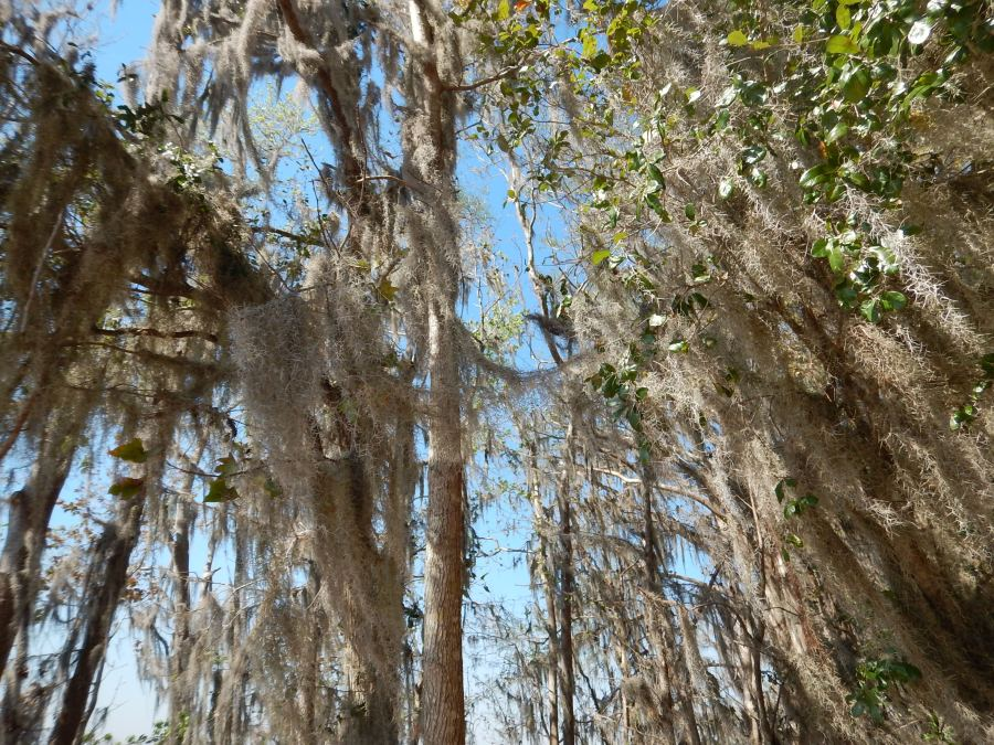 Spanish moss. It's not just for breakfast any more.
